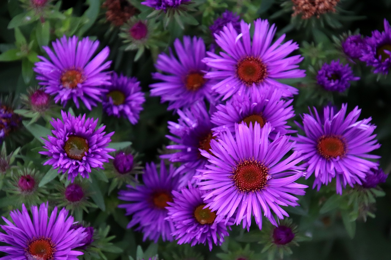 asters 4525856 1280